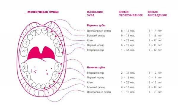 очередность прорезывания зубов