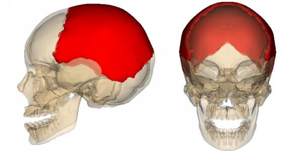 строение теменной кости