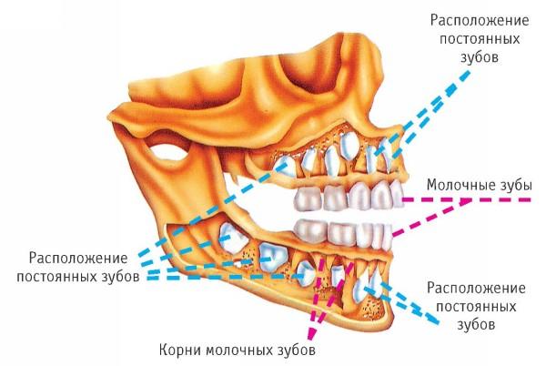 постоянных коренных зубов.